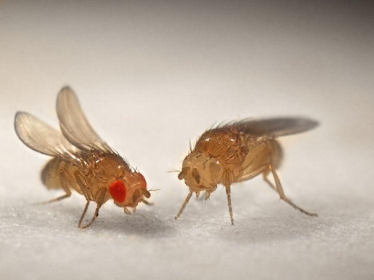 Как избавиться от дрозофил: откуда берутся мушки и как от них избавиться (видео 105 фото)