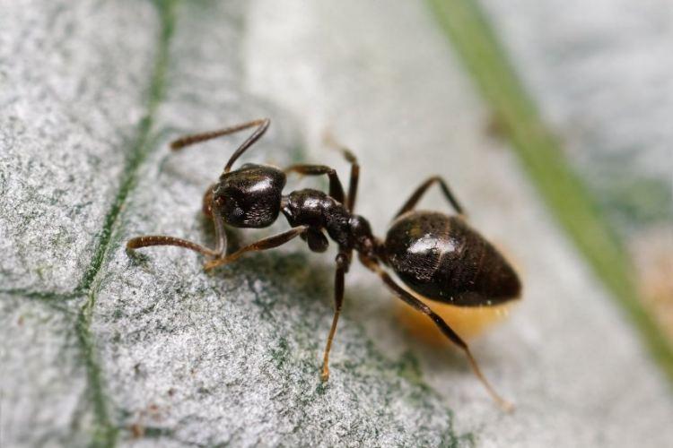 Как выводить муравьев из дома